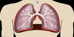 Working of Lungs