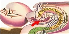 How the Body Works : Center of Emotion and Memory