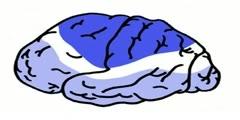 Myelination And Development- Cerebral Anatomy