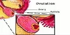 Illustration of Ovulatory Phase