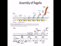 Flagella composition