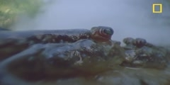 The mudskipper, a fish that can walk