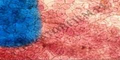 Zmiana barwy antocyjanu w komórkach Ligustrum vulgare