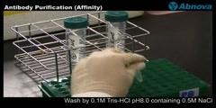 Antibody Purification (Affinity)