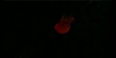Bioluminescence of Ocean Creatures
