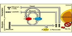 Fermentation (Anaerobic respiration) Lactic Acid and Ethanol