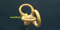 Bony Labyrinth Model - Semicircular Canals