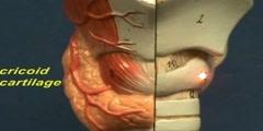 Bronchial Tree Model - Larynx - Anterior View