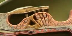 Cochlea Model