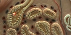 Composite Skin Model - Glands