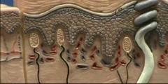 Composite Skin Model - Sensory Structures