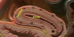 Female Reproductive Model - Midsagittal View