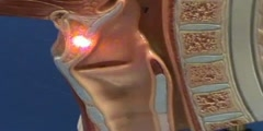 Half-Head Model - Larynx