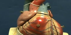 Heart Model I - Anterior Surface