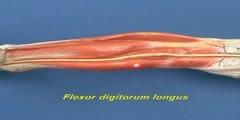 Leg Model - Leg - Posterior Compartment - Deep Muscles