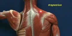 Little Man Model - Trapezius & Longissimus Dorsi