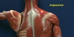 Little Man Model - Trapezius & Longissimus Dorsi