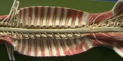 Spinal Cord Model - Length of Spinal Cord