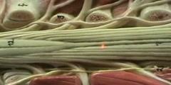 Spinal Cord Model - Lumbar Region