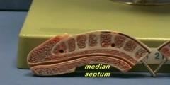 Male Reproductive Model - Upright Model - Penis