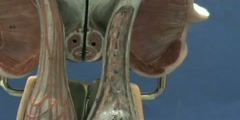 Upright Model of Male Reproductive System