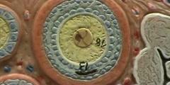 Ovary Model - Secondary & Mature Follicles