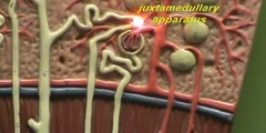 Renal Lobe Model - Juxtaglomerular Nephron