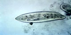 Paramecium Feeding
