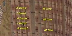 Skeletal muscle fiber model myofibrils