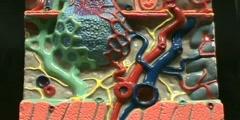 Small Intestines Histology Model - Submucosa