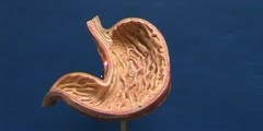 Structural features of stomach