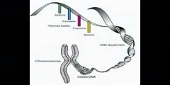 Chromosomes Morphology in Humans