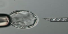 What is Blastocyst Microinjection?