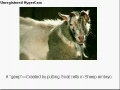 Animals that are Genetically Modified