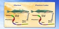 Genetic Evidence for Stickleback fish's evolution