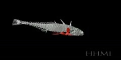 Stickleback Skeleton 3D