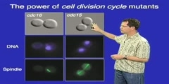 Controlling the Cell Cycle