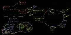 Citric acid cycle vs krebs cycle