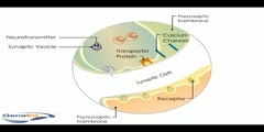 Synaptic Transmission in the Brain