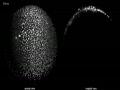 Zebrafish Embryos Developing