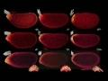 Formation of bicoid bcd mRNA gradient in drosophila