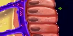 Absorption and digestion in the small intestine.