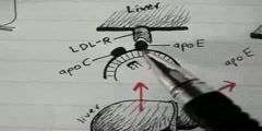 Overview of lipoprotein physiology part 2