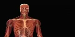 The Human Body - Hidden muscle power