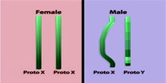Evolution of the Y chromosome part 3