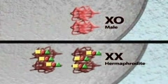 MIX-1: chromatin and sex determination part II