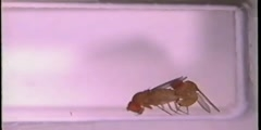 Successful copulation in Drosophila bipectinata achieved by