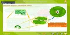 Analysis of the Structure And Function Of a Stomata