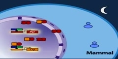 The mammalian molecular clock model part 1