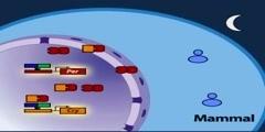 The mammalian molecular clock model part 1